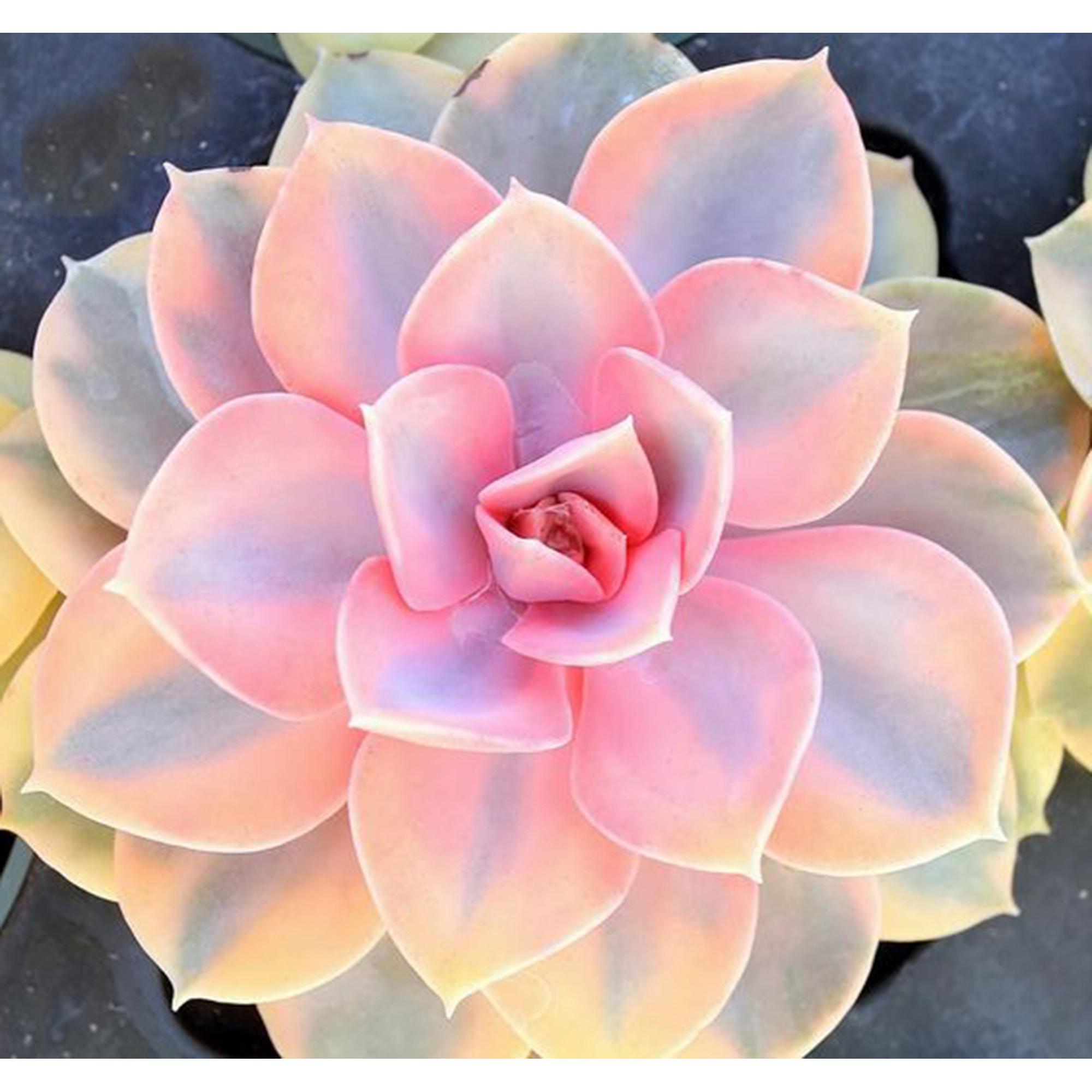 Rare Echeveria Rainbow 200 Seeds Colorful Succulent Cactus Botgarden