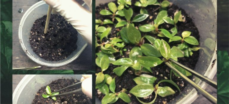 WHAT SHOULD WE DO WHEN RECEIVING TISSUE CULTURE PLANTS?